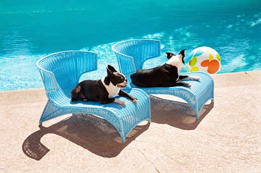 Stock Photo: 1530R-37142 Dogs relaxing by pool