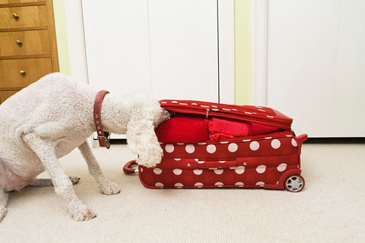 Poodle sniffing polka dot patterned suitcase : Stock Photo