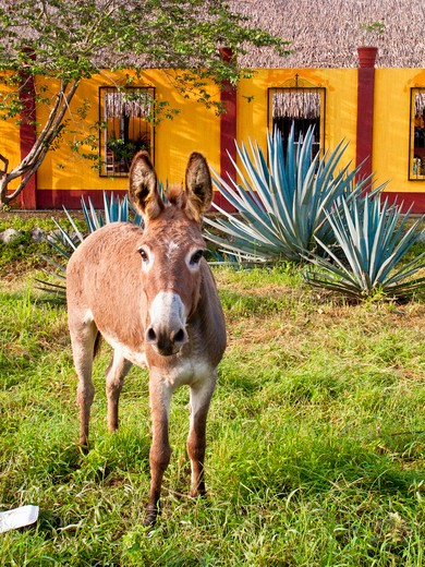 Stock Photo: 1530R-41300 donkey near colorful house