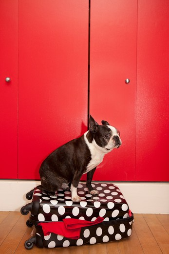 Stock Photo: 1530R-41629 Dog sitting on suitcase