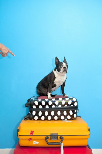 Stock Photo: 1530R-41631 Dog sitting on stacked suitcases