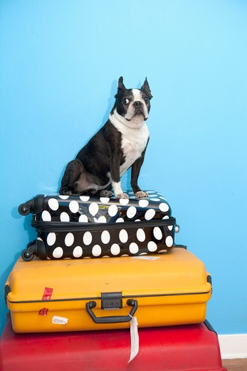 Stock Photo: 1530R-41632 Dog sitting on stacked suitcases