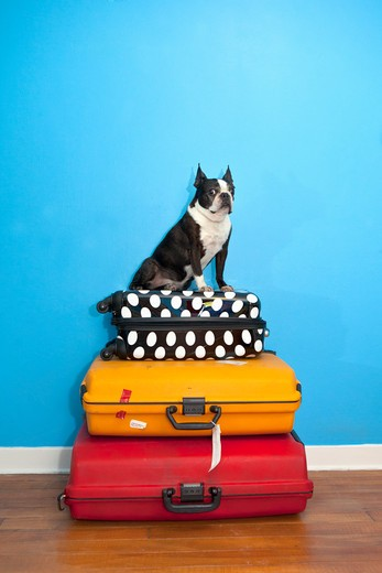 Stock Photo: 1530R-41633 Dog sitting on stacked suitcases