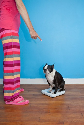 Woman looking at dog sitting on scales : Stock Photo