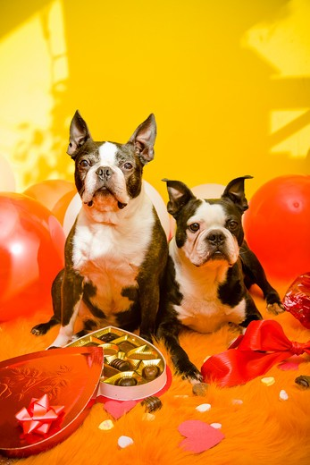 Stock Photo: 1530R-41648 Dogs with valentines and candy