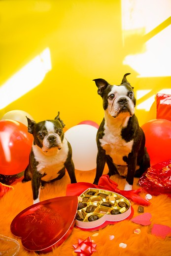 Stock Photo: 1530R-41649 Dogs with valentines and candy