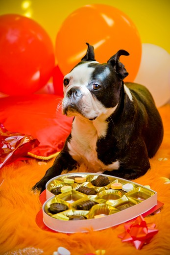 Dog with valentine box of candy : Stock Photo