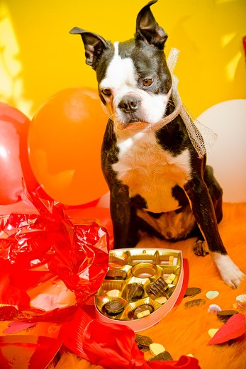 Stock Photo: 1530R-41651 Dog with valentine box of candy