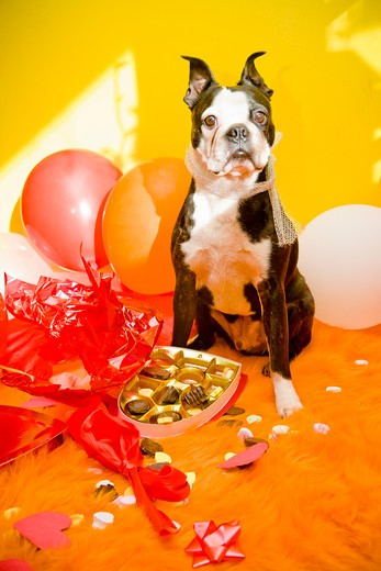 Stock Photo: 1530R-41652 Dog with valentine box of candy