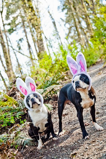 Stock Photo: 1530R-41655 Dogs wearing bunny ears