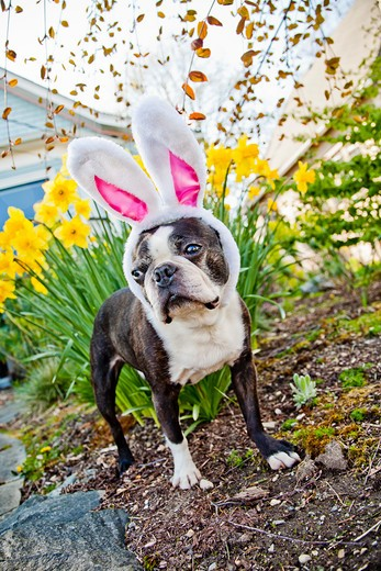 Stock Photo: 1530R-41656 Dog with bunny ears and daffodils