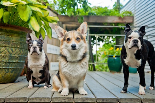 Stock Photo: 1530R-41719 Three dogs standing on outdoor porch,
