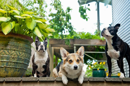Stock Photo: 1530R-41720 Three dogs on outdoor porch,