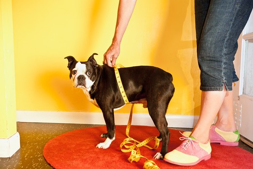 Stock Photo: 1530R-41722 Woman measuring dog's waist,