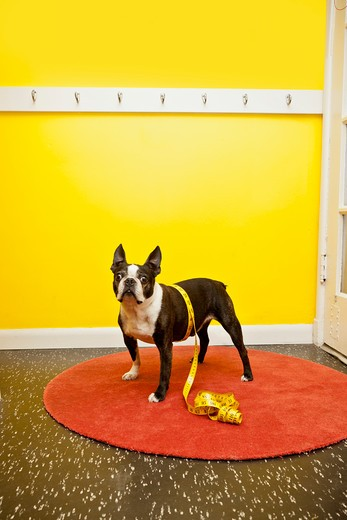 Stock Photo: 1530R-41725 Boston terrier with measuring tape,