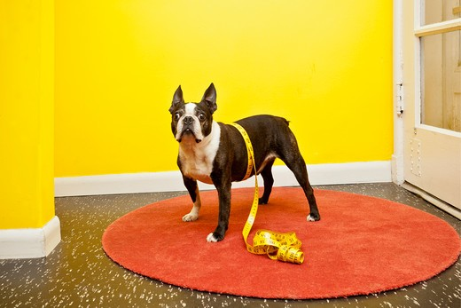 Stock Photo: 1530R-41726 Boston terrier with measuring tape,