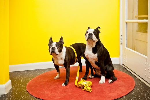 Boston terriers with measuring tape, : Stock Photo