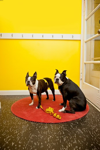 Stock Photo: 1530R-41728 Boston terriers with measuring tape,