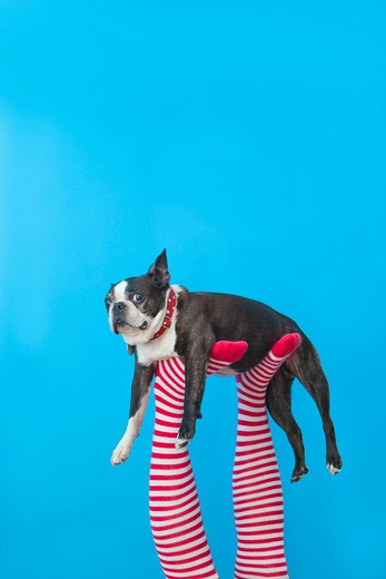 Stock Photo: 1530R-41750 Legs in striped socks with colorful shoes holding dog,