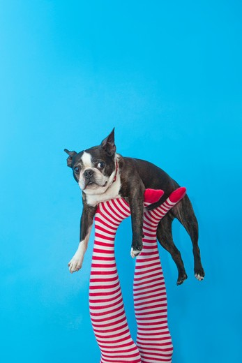 Stock Photo: 1530R-41751 Legs in striped socks with colorful shoes holding dog,