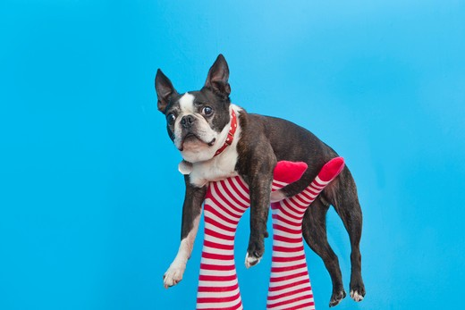 Legs in striped socks with colorful shoes holding dog, : Stock Photo