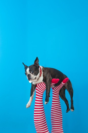 Stock Photo: 1530R-41753 Legs in striped socks with colorful shoes holding dog,