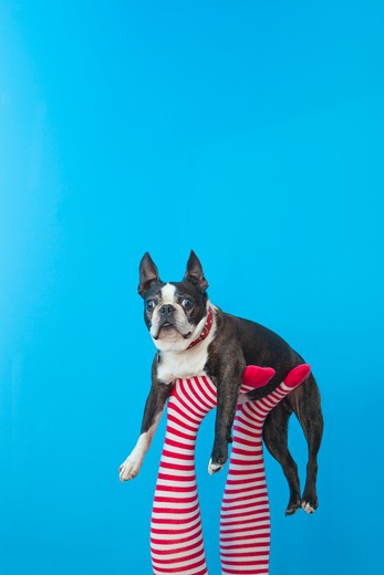 Stock Photo: 1530R-41754 Legs in striped socks with colorful shoes holding dog,