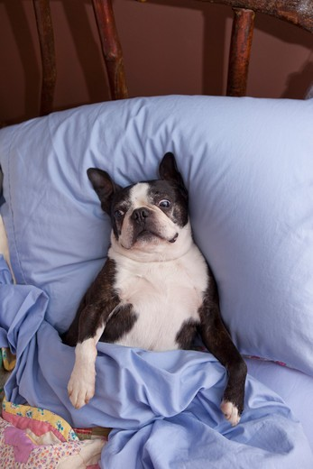 Stock Photo: 1530R-41838 Boston terrier in bed with blue sheets,