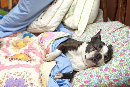Stock Photo: 1530R-41842 Boston terrier sleeping on flowered sheets in bed,