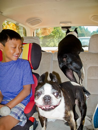 Stock Photo: 1530R-41850 Young boy in back seat of car with two dogs,