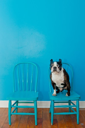 Stock Photo: 1530R-41860 Boston terrier seated on blue chair,