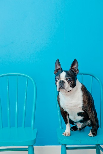 Stock Photo: 1530R-41861 Boston terrier seated on blue chair,