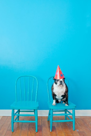 Stock Photo: 1530R-41862 Boston terrier seated on blue chair wearing party hat,