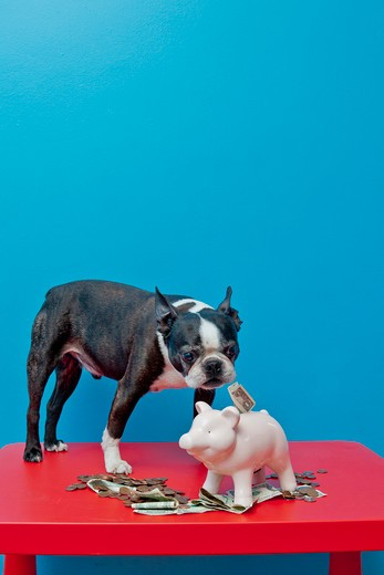 Dog standing on red table with piggy bank, : Stock Photo