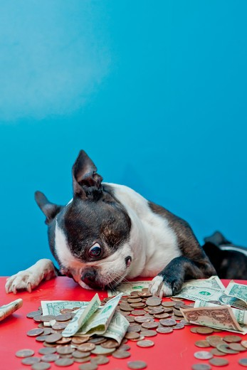 Dog looking at money on red table, : Stock Photo