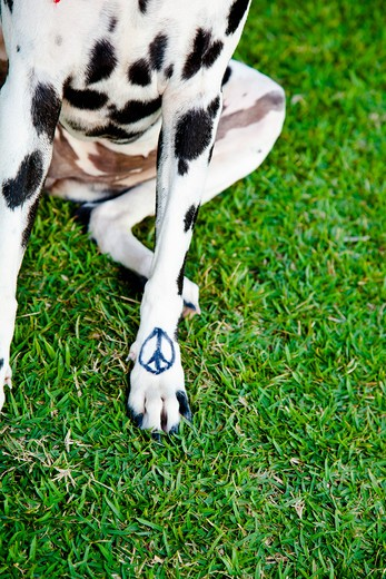Black and white dog with peace sign on paw : Stock Photo