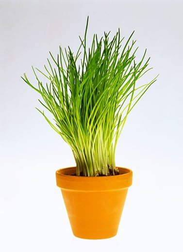 Chives in flowerpot : Stock Photo