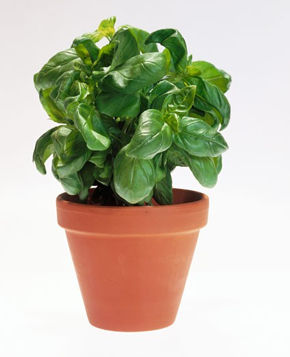 Stock Photo: 1532R-10037 Basil in flowerpot