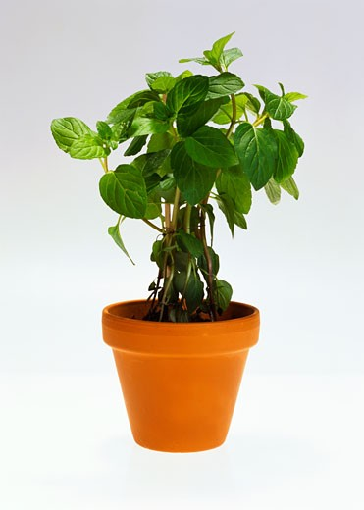 Peppermint in flowerpot : Stock Photo