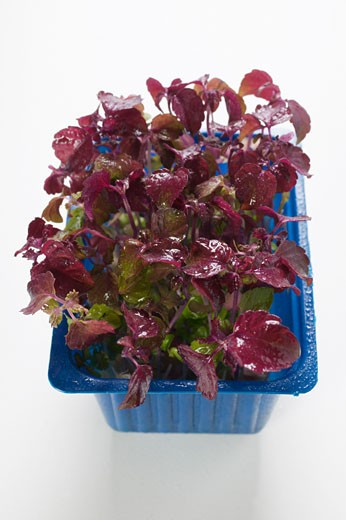Red daikon cress in plastic punnet : Stock Photo