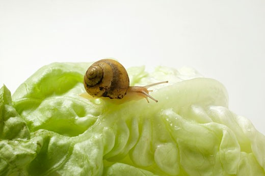 Stock Photo: 1532R-21884 A snail on a lettuce leaf