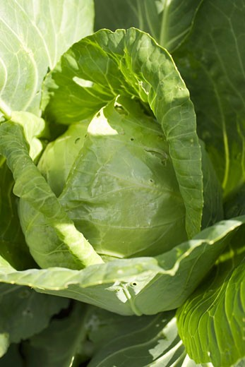 A white cabbage in the field : Stock Photo