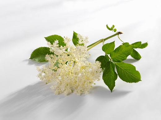 Stock Photo: 1532R-23303 Elderflowers with leaves