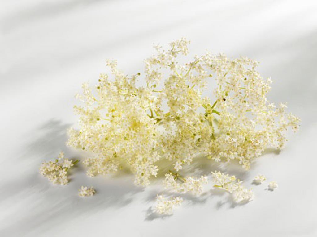 Stock Photo: 1532R-23304 Elderflowers