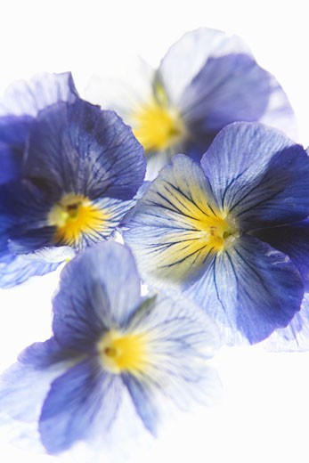 Purple and yellow pansies : Stock Photo