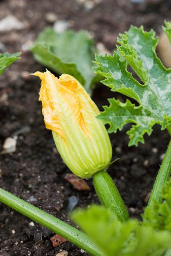 Courgette with flower on the plant : Stock Photo