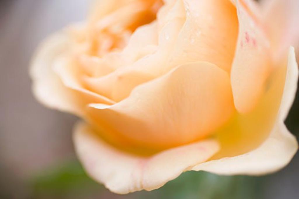 Stock Photo: 1532R-27980 Salmon-pink rose (close-up)