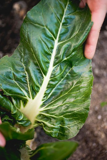 Hand picking chard in a vegetable bed : Stock Photo