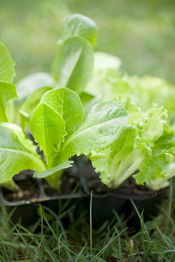 Lettuce plants in plastic modules on grass : Stock Photo
