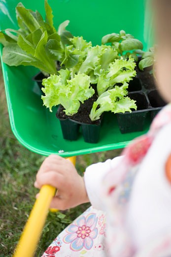Child pushing wheelbarrow containing lettuce & basil plants : Stock Photo